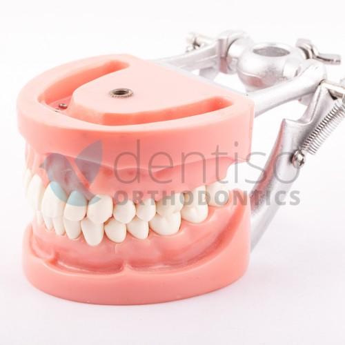 Typodont z wykręcanymi zębami